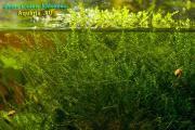 новый мох в аквариуме