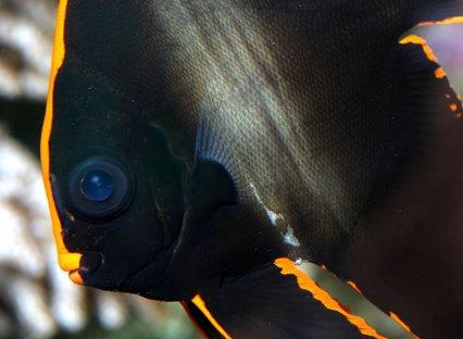 batfish.jpg