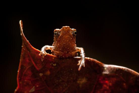 beaked-toad-3_0.jpg