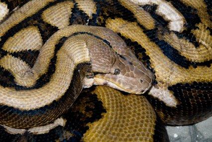 python-reticulatus2.jpg