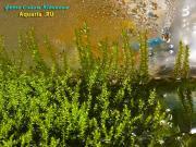 рост над поверхностью воды, молодые побеги «прилипают» к стенкам аквариума